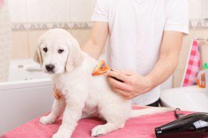 labrador puppy grooming