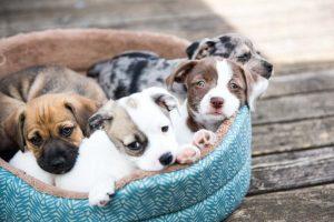 puppy socialisation in basket