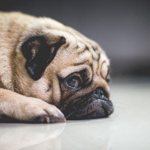pet thefts sad dog