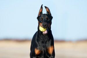 canine enrichment doberman