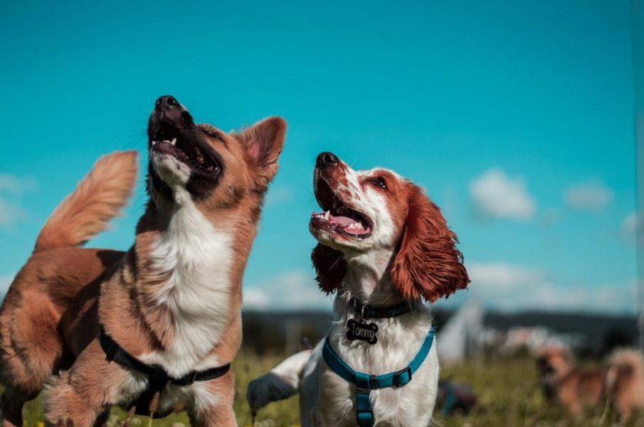 lockdown pet dogs