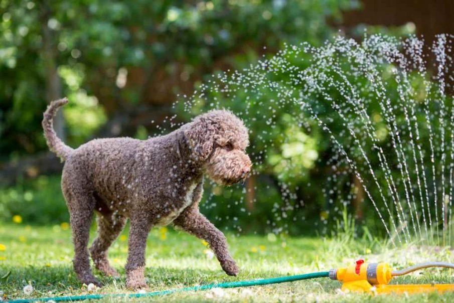 dog with sprinkler cool pets