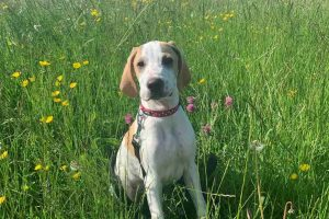 cooper the english pointer