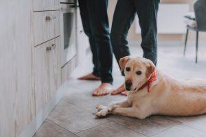 dog friendly kitchen labrador